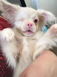 Albino puppy rescued from backyard breeder