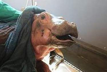 Baby hippo wrapped in blanket after rescue