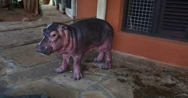 Baby hippo orphan
