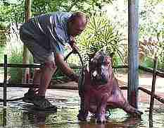 Baby hippo orphan getting a bath after rescue