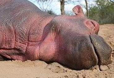 Baby hippo napping outside