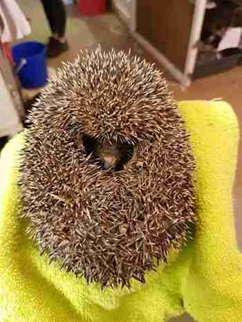 rescued hedgehog