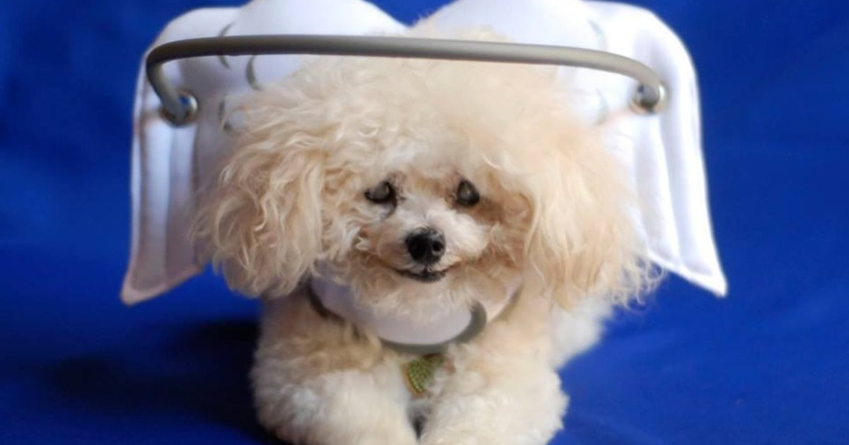 Halo Headgear Keeps Muffin And Other Blind Dogs Safe