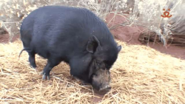Why You Need To Be Really Sure Before Getting A Teacup Pig