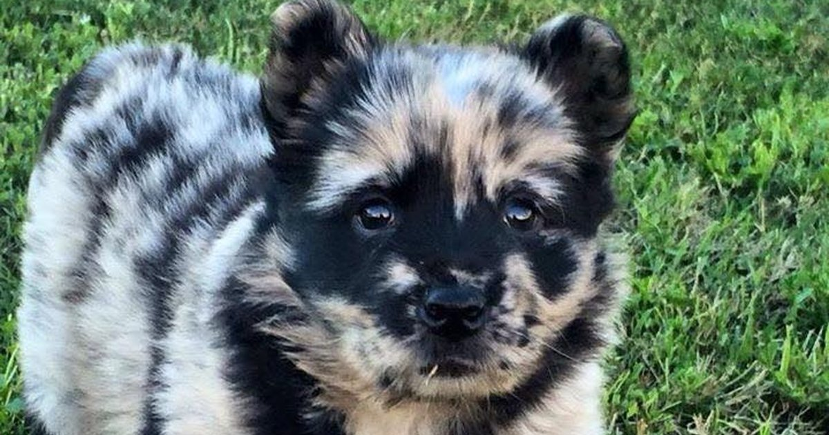 quiz can you guess the mixed breeds of these adorable