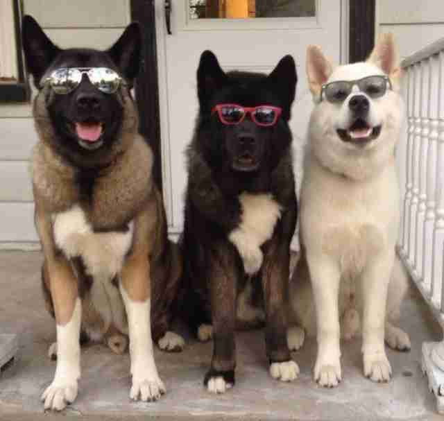A blind dog with his two 'seeing' dog siblings