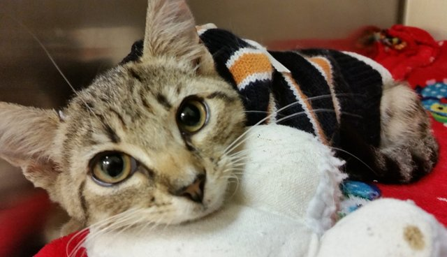 Tiny Kittens Attacked With Acid Recover In Snuggly Sweaters