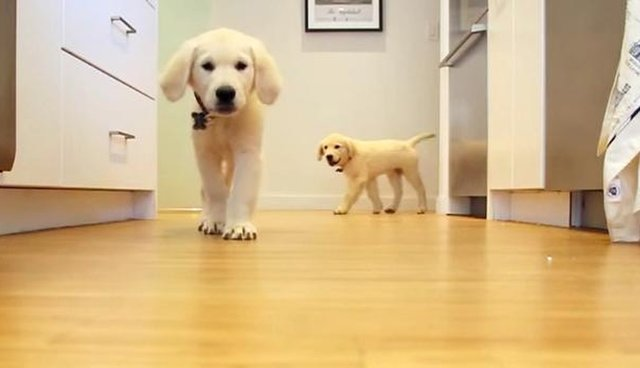 Amazing Timelapse Video Shows Just How Fast Puppies Grow Up The Dodo