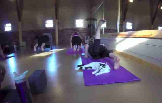 Yoga studio opens its doors to shelter cats hoping to find for Shelter studios