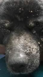 Ticks on old blind dog's face