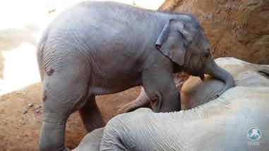 elephant calf grieving mom