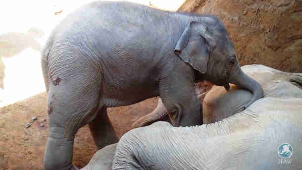elephant calf grieving mom