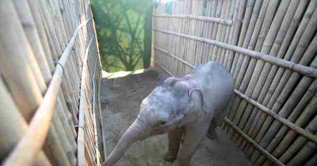elephant calf rescued in India