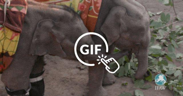 elephant calves bond in India