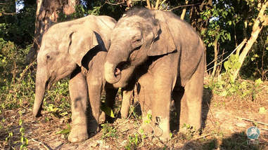 orphaned baby elephants at IFAW wildlife rescue in India