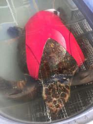 Turtle swimsuit harness