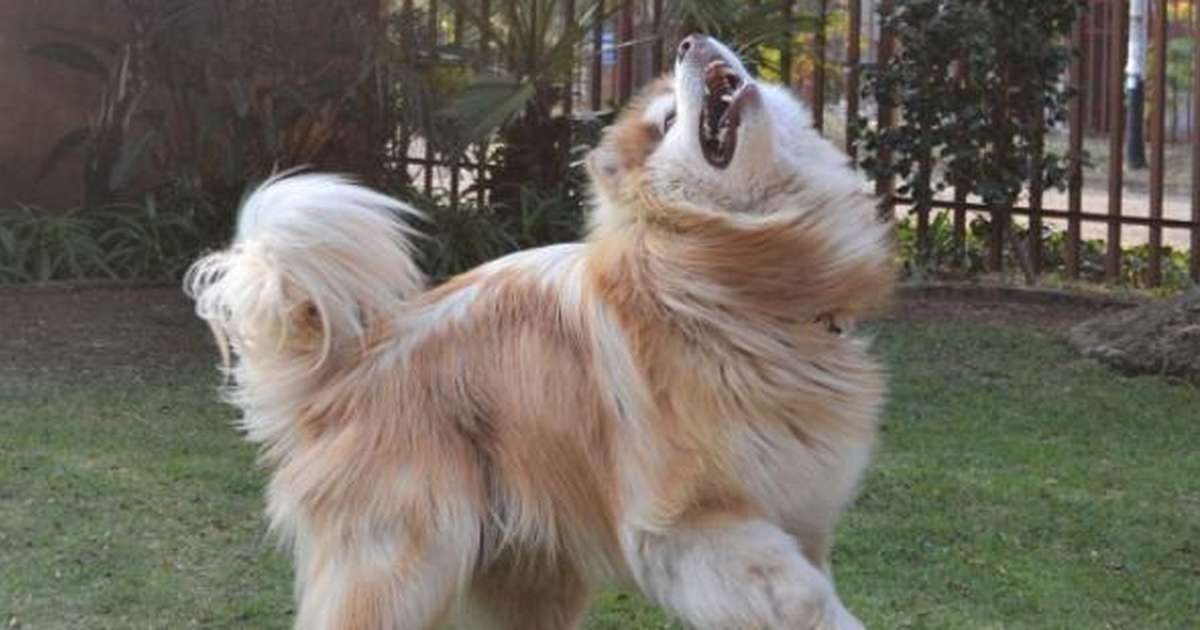 dog that looks like a lion - 1200×630