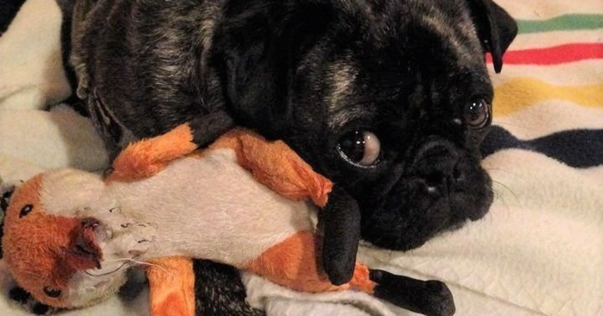 Why Are Dogs So Obsessed With That One Toy? - The Dodo