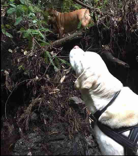 Missing blind yellow Labrador is rescued