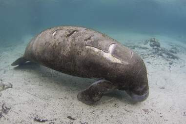 A Florida manatee with wounds from a boat strike