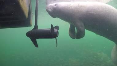 A Florida manatee swimming near a boat propeller