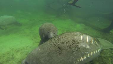 A mother and baby manatee in Florida
