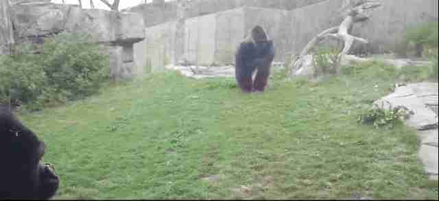Zoo Gorilla Sends Clear Message To Visitors That He Wants Out The Dodo