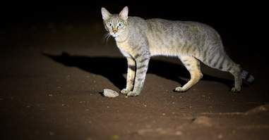 The Near East wildcat is ancestor of the modern house cat