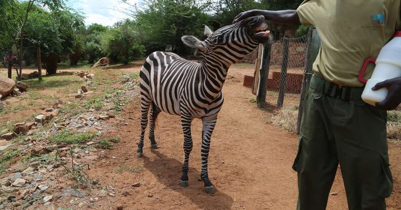 Orphaned zebra getting pet by her keeper