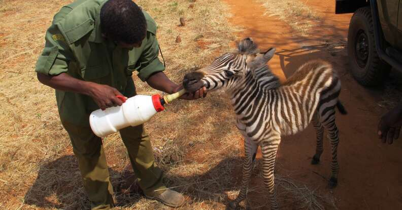 Orphaned zebra as a baby getting bottlefed