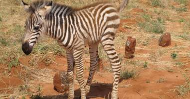 Zebra was just a baby when her mom was poached