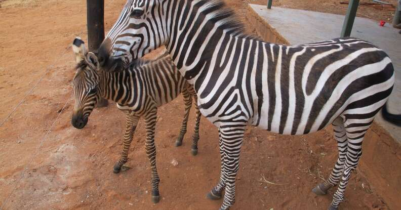 Orphaned zebra meeting older zebra orphan at DSWT