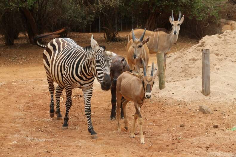 Orphaned zebra with her friends, antelope and buffalo