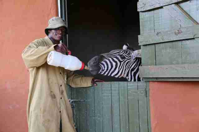 Orphaned zebra getting stronger with every feeding