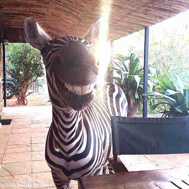 Zebra growing up strong at orphanage for wildlife