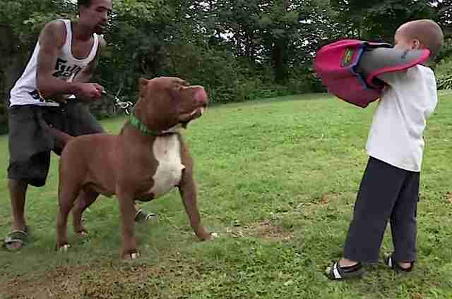 Giant Pit Bull Has Puppies And Its All Kinds Of Wrong The Dodo - Meet hulk possibly worlds biggest pitbull still growing