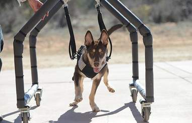 Caboodle, a special needs puppy walking in a special cart