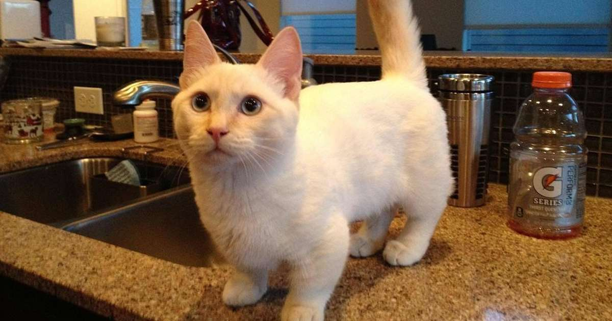 munchkin cats can have serious health issues here s why the dodo
