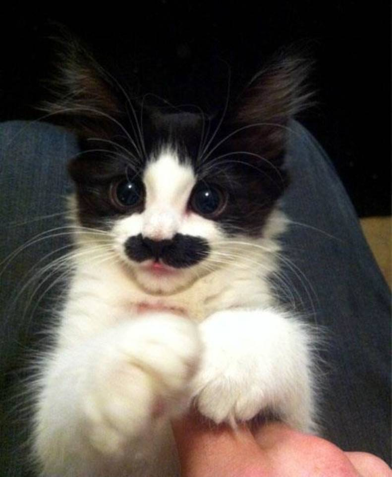 13 Cats Born With Perfect Mustaches - The Dodo