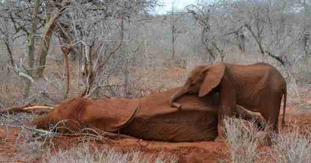 Baby elephant with her dying mother, killed by poachers