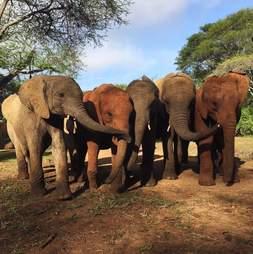 Orphaned elephant herd at the David Sheldrick Wildlife Trust orphanage