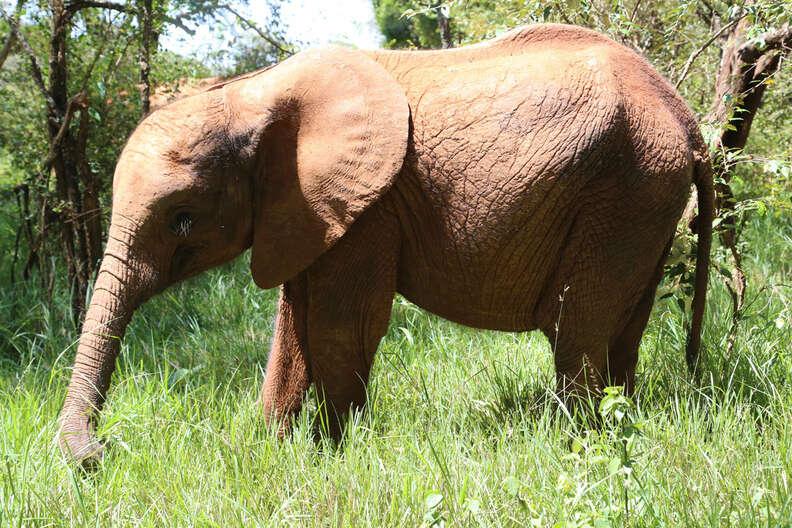 Orphaned elephant at the David Sheldrick Wildlife Trust center