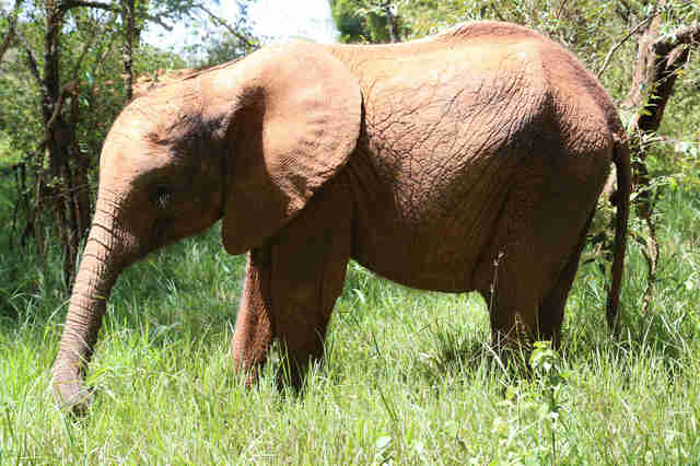 Orphaned elephant at the David Sheldrick Wildlife Trust center