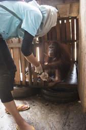 Bornean orangutan locked inside crate in Indonesia