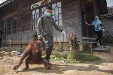 Rescued Bornean orangutan getting help