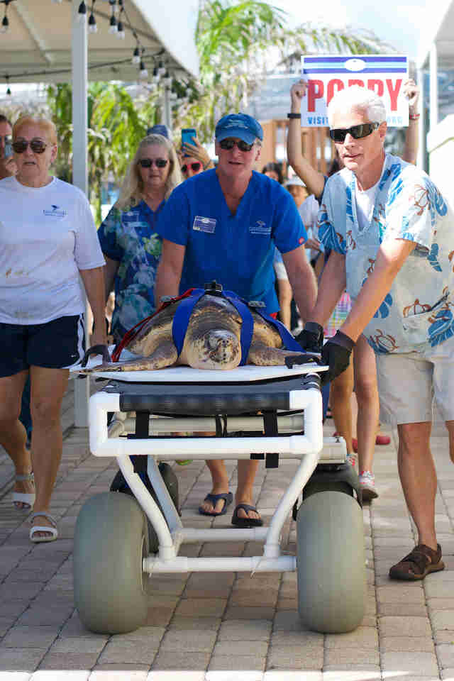 Loggerhead sea turtle ready for release in Juno Beach