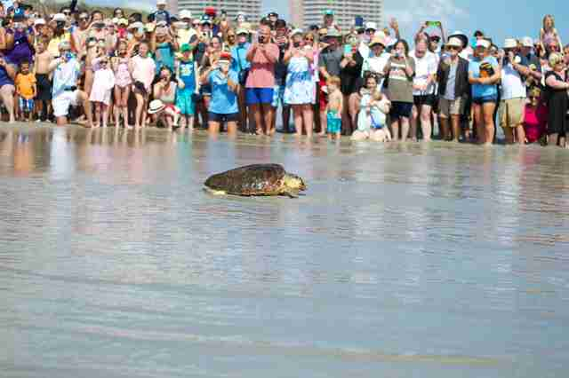Loggerhead sea turtle release in Juno Beach