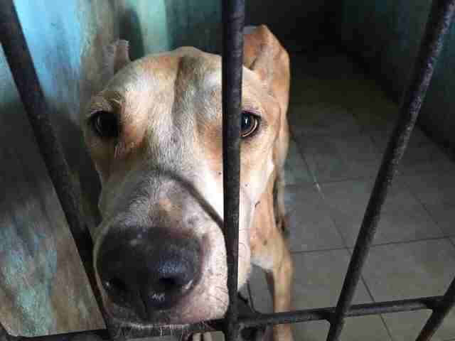 TinTin the pit bull nearly starved to death in Bali
