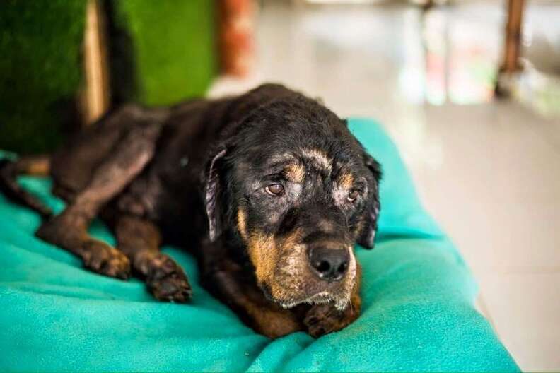 A Rottweiler being cared for in Bali, Indonesia