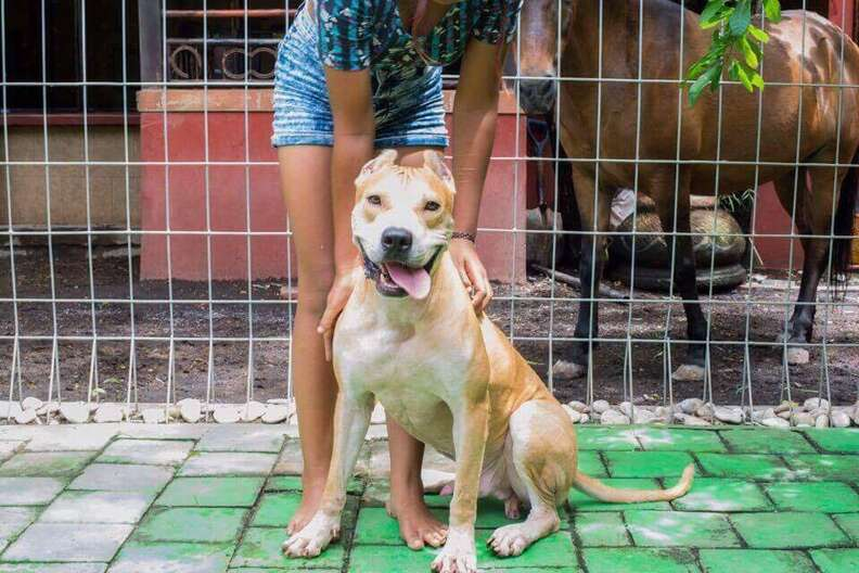 TinTin the pit bull looking happier and healthier